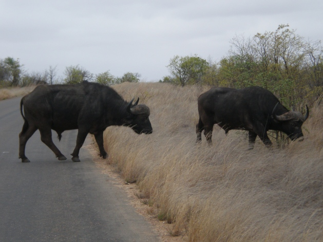 Kruger National Park's Buffalos