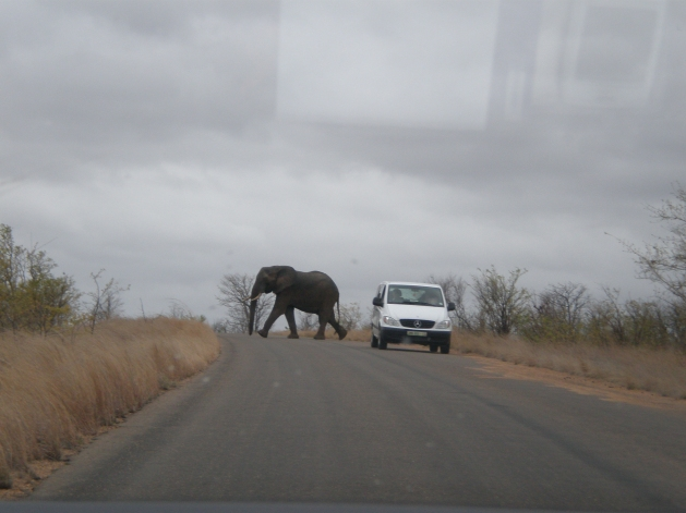 Kruger National Park's Elephant