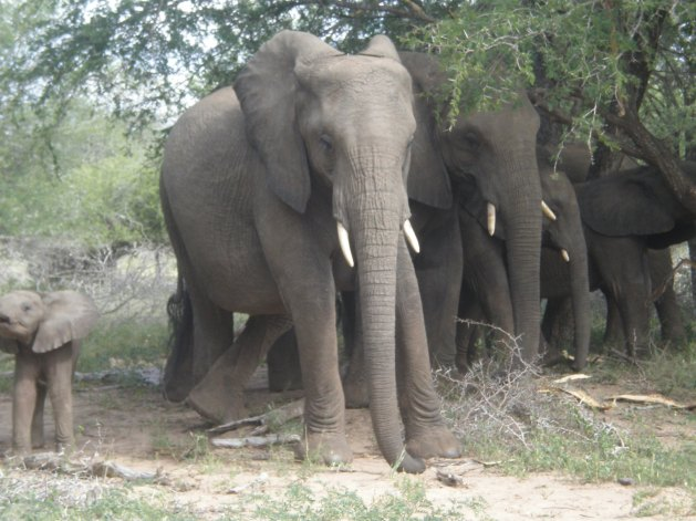 Kruger National Park's Elephants