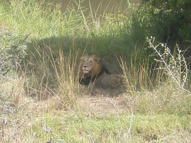 Kruger National Park's Lion