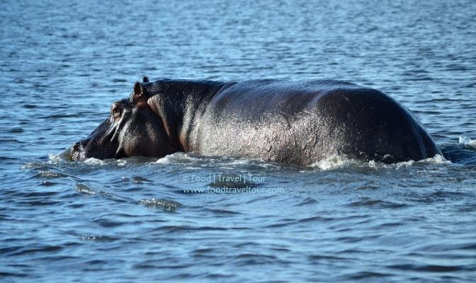 chobe-river-01-hippo-shine-1