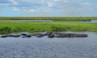 chobe-river-04-hippo-10