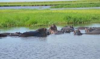chobe-river-04-hippo-11