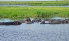 chobe-river-04-hippo-12