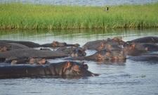 chobe-river-04-hippo-14