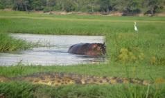 chobe-river-04-hippo-5
