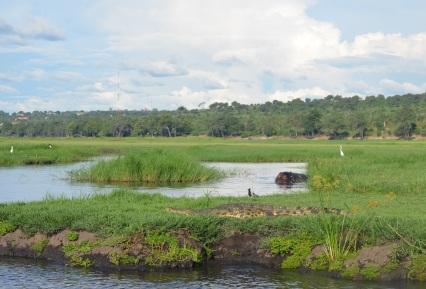 chobe-river-04-hippo-6