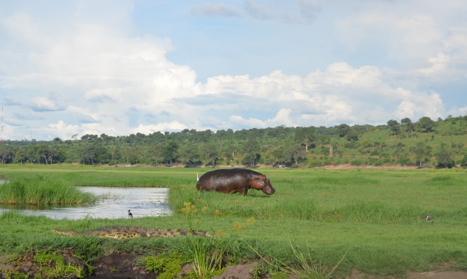 chobe-river-04-hippo-8