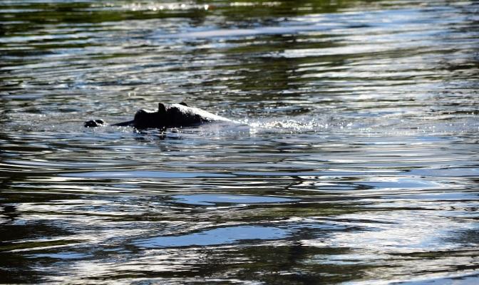 chobe-river-04-hippo-9