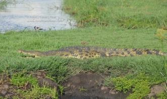 chobe-river-08-croc-2